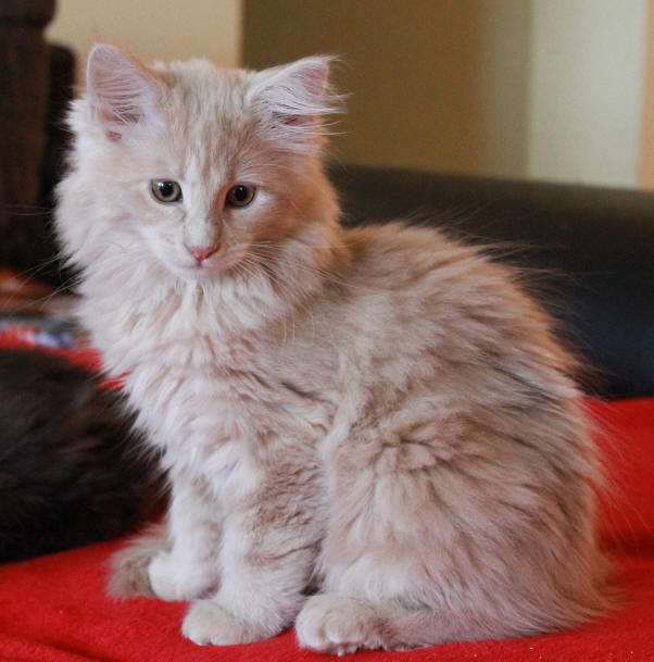 Maine Coon Fabulouscats Shawnees Calima